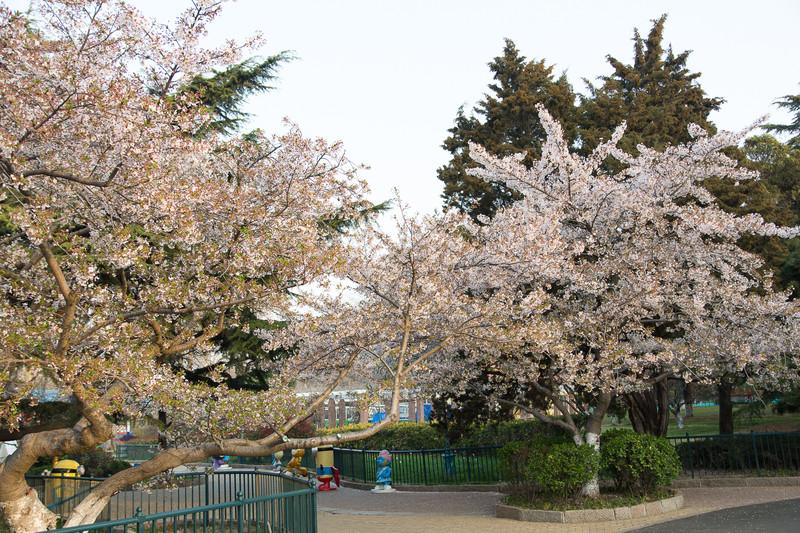 岛城春暖花盛开,单樱谢尽双樱来-青岛中山公园赏樱记